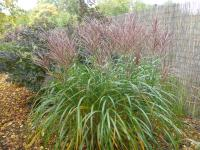 Miscanthus sinensis  'Sirene' - Chinese Silver Grass