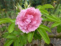 Rosa rugosa  'Pink Grootendorst'  Japanese rose flowers