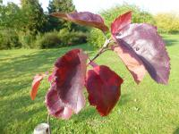 Malus           'Brandywine'  Crabapple leaves