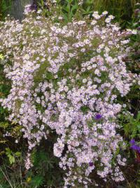 Symphyotrichum lateriflorum  'Coombe Fishacre'  Calico Aster plant
