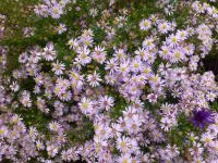 Symphyotrichum lateriflorum  'Coombe Fishacre'  - Calico Aster