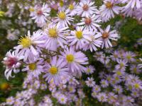 Symphyotrichum lateriflorum    'Coombe Fishacre'  Calico Aster flowers
