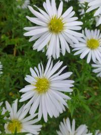 Aster dumosus        'Silberball'  Rice Button Aster flowers