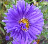 Symphyotrichum novi-belgii     'Sailor Boy'  Confused Michaelmas-daisy flowers