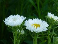 China Aster Callistephus chinensis 'Mats White'