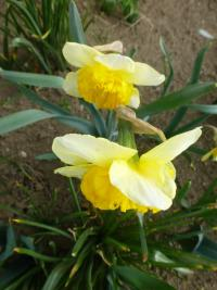 Narcis 'Curly' (Narcissus x hybridus)