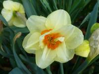 Narcissus      'Double Fashion'  Daffodil flowers