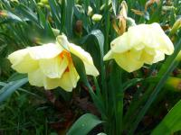 Narcissus  'Double Fashion' - Daffodil