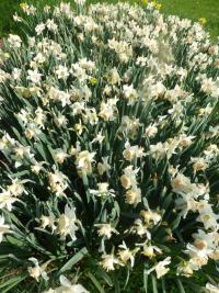 Narcissus   'Petit Four'  Daffodil plant