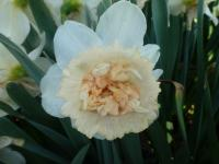 Narcissus    'Petit Four'  Daffodil flowers