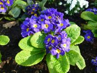 Primula x polyantha  'You and Me Blue' - Polyanthus Primrose