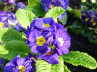 Primula x polyantha   'You and Me Blue'  Polyanthus Primrose plant