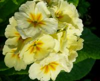 Primula x polyantha     'You and Me Cream'  Polyanthus Primrose flowers