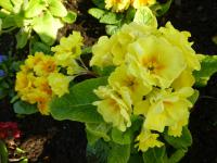 Primula x polyantha  'You and Me Yellow'  Polyanthus Primrose plant