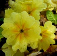 Primula x polyantha    'You and Me Yellow'  Polyanthus Primrose flowers