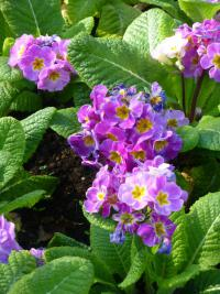 Primula x polyantha  'You and Me Light Lilac'  Polyanthus Primrose plant