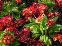 (Primula x polyantha) Prvosenka 'You and Me Red Laced'