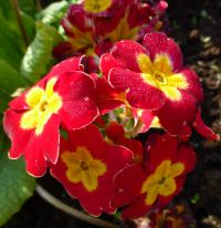 (Primula x polyantha) Prvosenka 'You and Me Red Laced' - květ