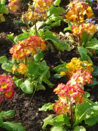 Primula x polyantha  'You and Me Orange' - Polyanthus Primrose