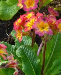 (Primula x polyantha) Prvosenka 'You and Me Orange'