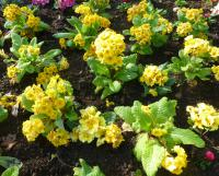 Polyanthus Primrose Primula x polyantha  'You and Me Golden'