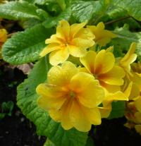 (Primula x polyantha) Prvosenka 'You and Me Golden'