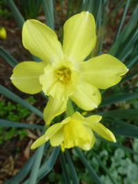 Narcissus            'Pipit'  Daffodil flowers