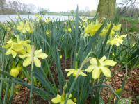Narcissus  'Pipit'  Daffodil plant