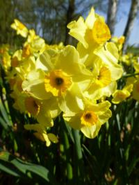 Narcissus    'Golden Dawn'  Daffodil plant