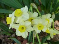 Narcissus     'Minnow'  Daffodil flowers