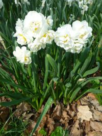 Narcissus  'Bridal Crown' - Daffodil