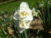 Daffodil Narcissus  'Cheerfulness'