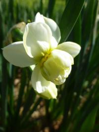 Narcissus    'Cheerfulness'  Daffodil flowers