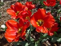 Tulipa  'Red Revival'  Tulip plant