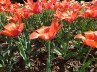 Tulipa  'Temple of Beauty'  Tulip plant