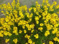 Erysimum cheiri   'Cloth of Gold' - Wallflower