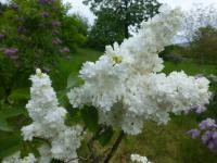 Syringa vulgaris 'Saint Margaret'  Common Lilac flowers