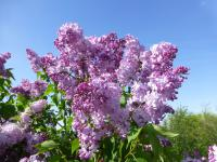 Syringa x hyacinthiflora   'Esther Staley'  Hyacinth Flowering Lilac plant
