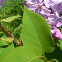 Syringa x hyacinthiflora      'Esther Staley'  Hyacinth Flowering Lilac leaves