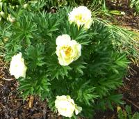 Pivoňka 'Border Charm' (Paeonia intersectional hybrid)