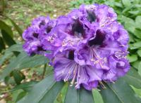 Rhododendron    'Blue Jungs'  Rhododendron flowers