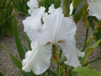 Iris barbata 'Carrara Lace'  Bearded Iris flowers