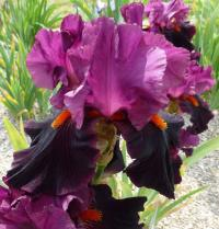 Iris barbata   'Fiery Temper'  Bearded Iris flowers