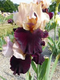 Iris barbata   'Broad Shoulders'  Bearded Iris flowers