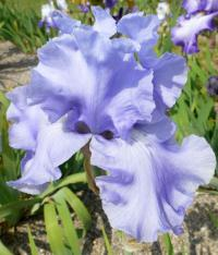 Iris barbata     'Rapture In Blue'  Bearded Iris flowers