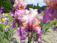 Iris barbata  'Sweet Musette'  Bearded Iris flowers