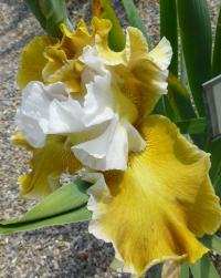 Iris barbata     'Going Green'  Bearded Iris flowers