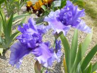 Iris barbata 'Honky Tonk Blues'  Bearded Iris plant