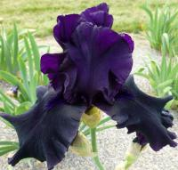 Iris barbata   'Hello Darkness'  Bearded Iris flowers