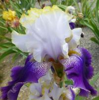Iris barbata     'Slovak Prince'  Bearded Iris flowers